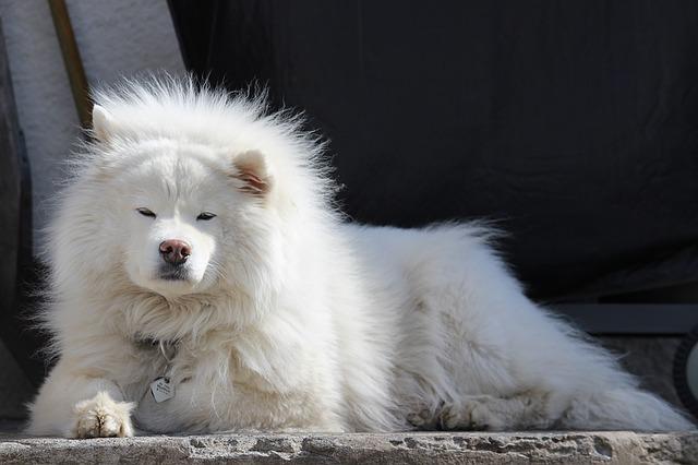 pes samojed