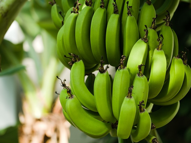 banán rostlina.jpg