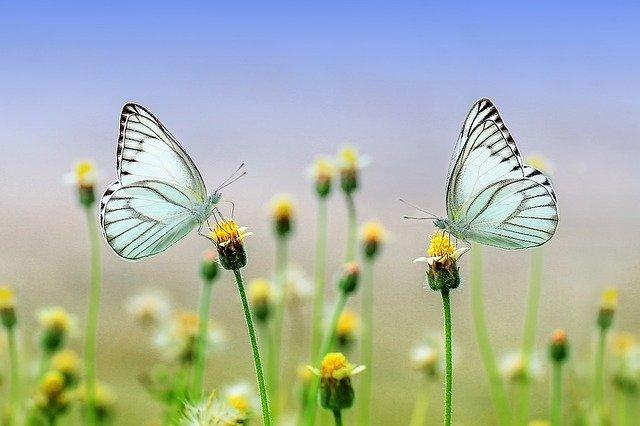bělásci na květech